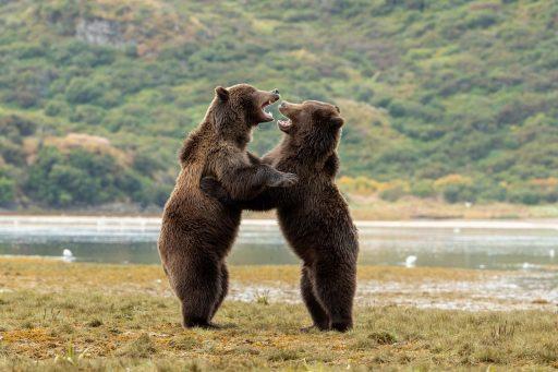 Grizzlybjörnar i Kinak Alaska