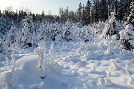 Ett snöklätt landskap i Högboskogarna