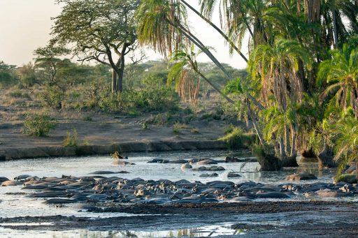 Flodhästar i dagsvila av naturfotograf Hasse Andersson