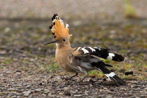 Naturfoto på Härfågel av naturfotograf Hasse Andersson