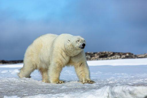 Isbjörn på vitön svalbard